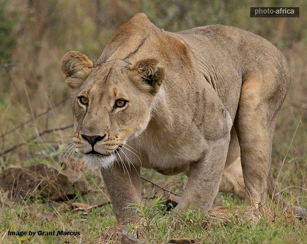 Male lion stalking prey - photo#6