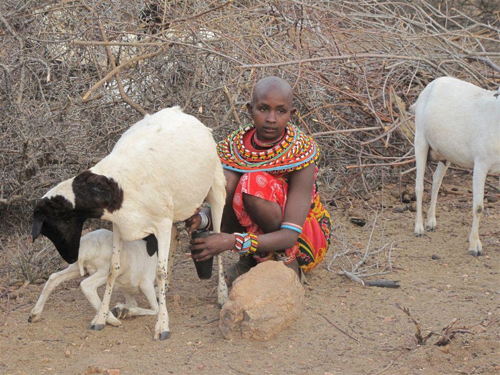 Tribal Women Mating Samburu woman milking goat