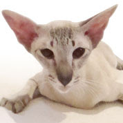 flame point siamese kittens in tucson az