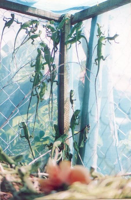 la cria de iguanas