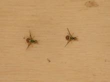 Lalat Buah (Bactrocera sp.)