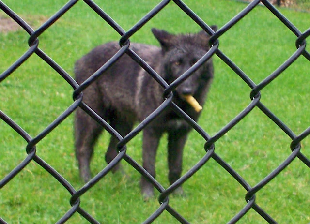 Black wolf with stick