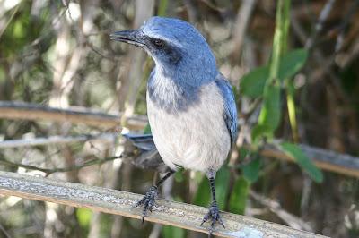Florida scrub jay - Oscar Scherer State Park