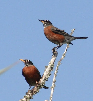 robins on Don Pedro Island