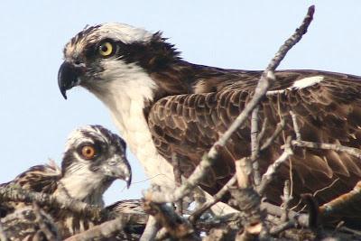 osprey feeding babies
