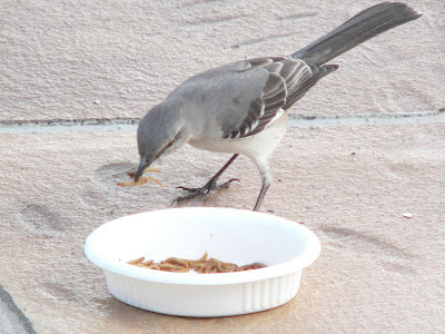 mockingbird eating mealworms