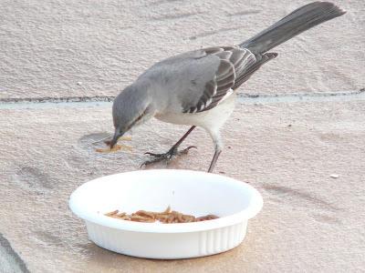 mockingbird eating mealworms