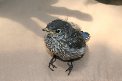 baby bluebird 19 days old