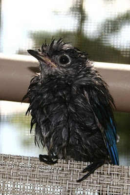 baby bluebird after bath