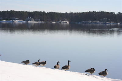 Lake Gaston geese in snow