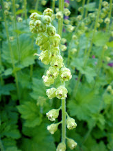 Tellima grandiflora: Pacific Northwest Native Plant