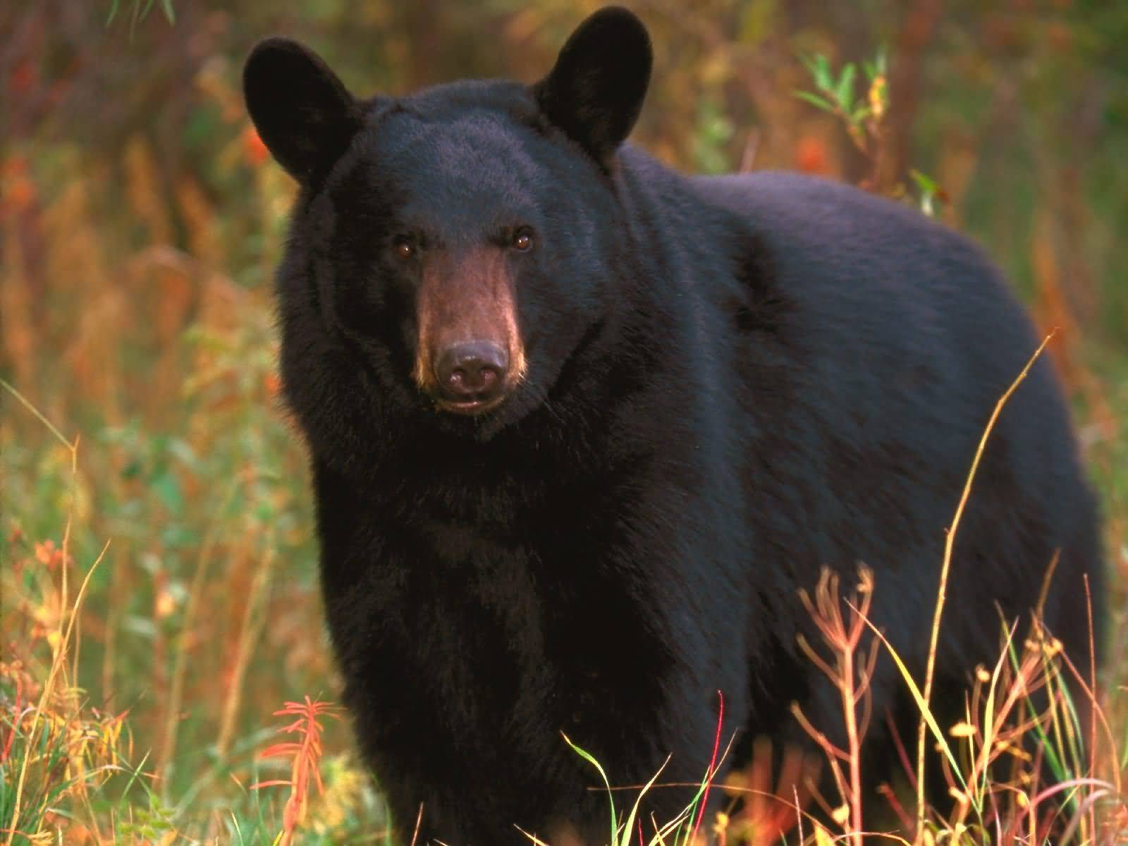 Black Bear Tennessee