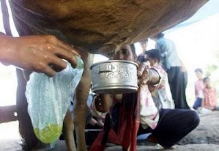 Лечение коровьей мочой