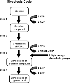 Biology 11 topic 11 cellular respiration image from httpfactmonsterimagescigbiology03fig02g step 1 energy is required to begin the process so a molecule of glucose accepts two ccuart Image collections
