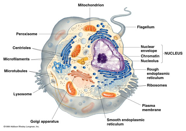 organelles in animal cell. animal cell labelled diagram