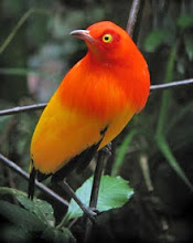 Flame Bowerbird