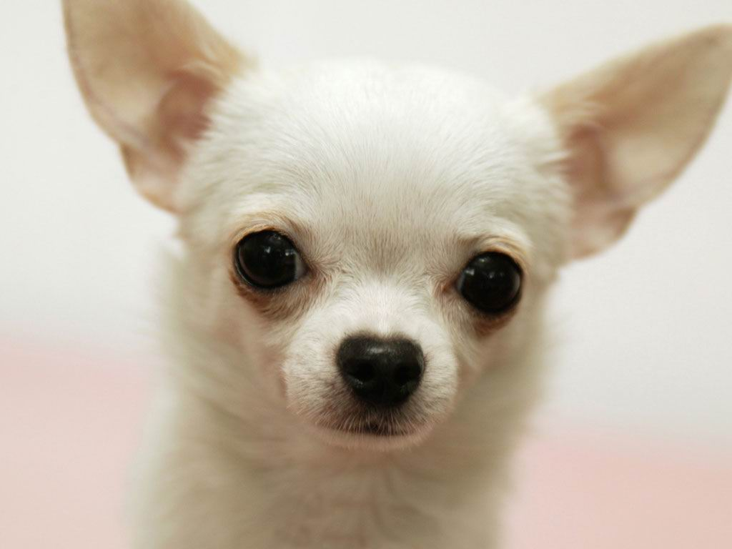 little cute chihuahua puppy