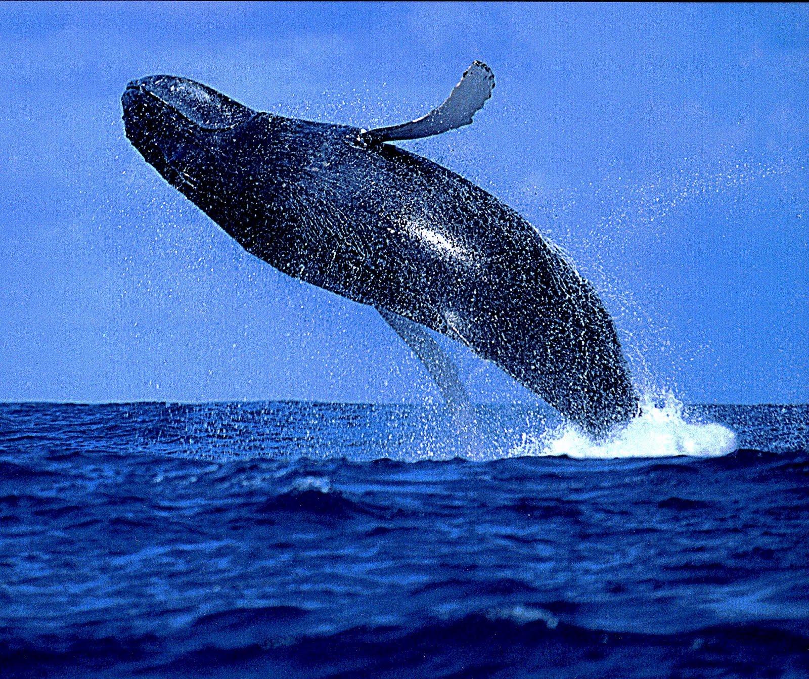 [humpback]