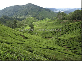 Tea faRm - Cameron Highland