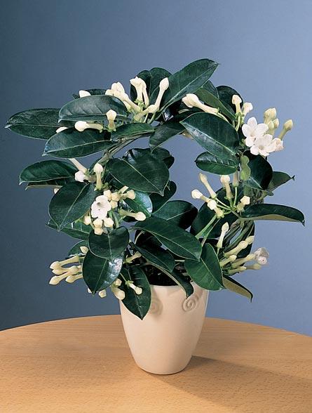 plantas interior jardineria: jazmÍn de madagascar (stephanotis