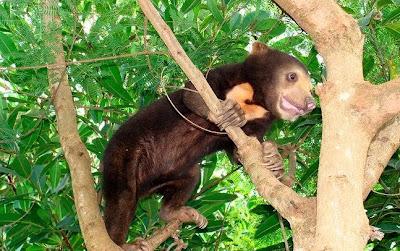oso malayo