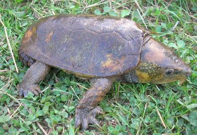 tortuga de cabeza ancha