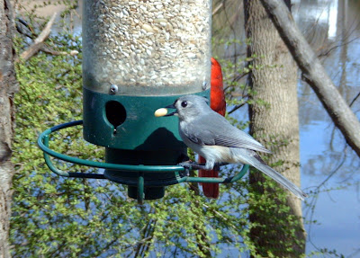 Tufted Titmouse,