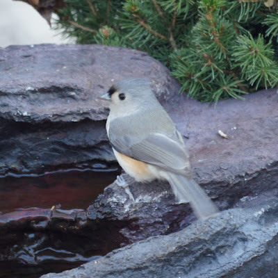 Titmouse 