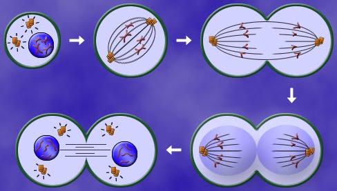 el mundo es bio: Practica de mitosis. Raices de la cebolla.