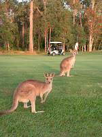 Wild Kangaroos on golf club fairway at Club Pelican. Photograph by Janie Robinson, Travel Writer