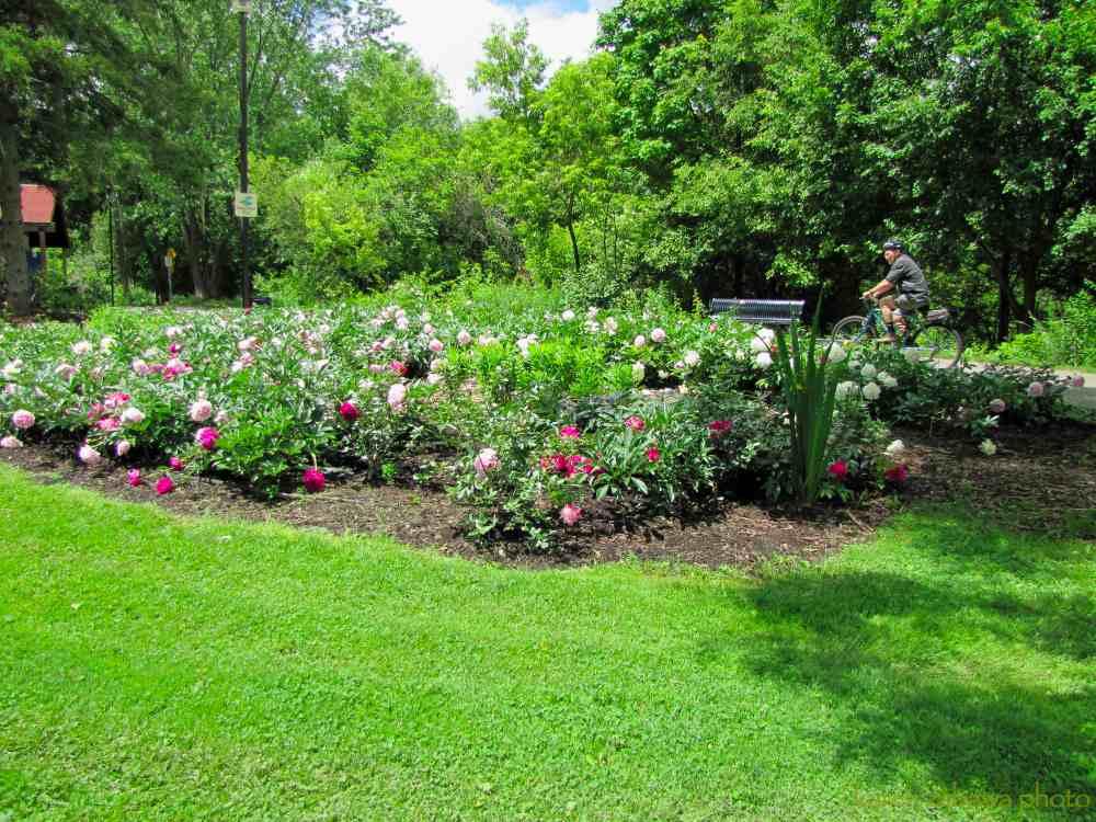 Brueckner Rhododendron Gardens Peony Garden White Tree Peonies Top Brass White Peony Pink