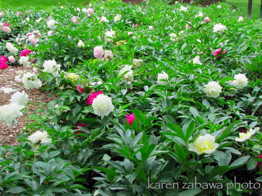 gardens peony garden white tree peonies top brass white peony