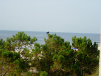 Hilton Head Beach Crow