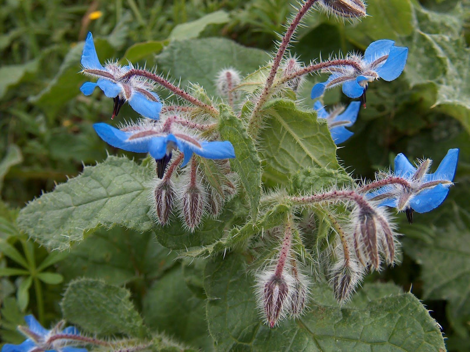 cantinho verde Plantas silvestres medicinais ou comestíveis