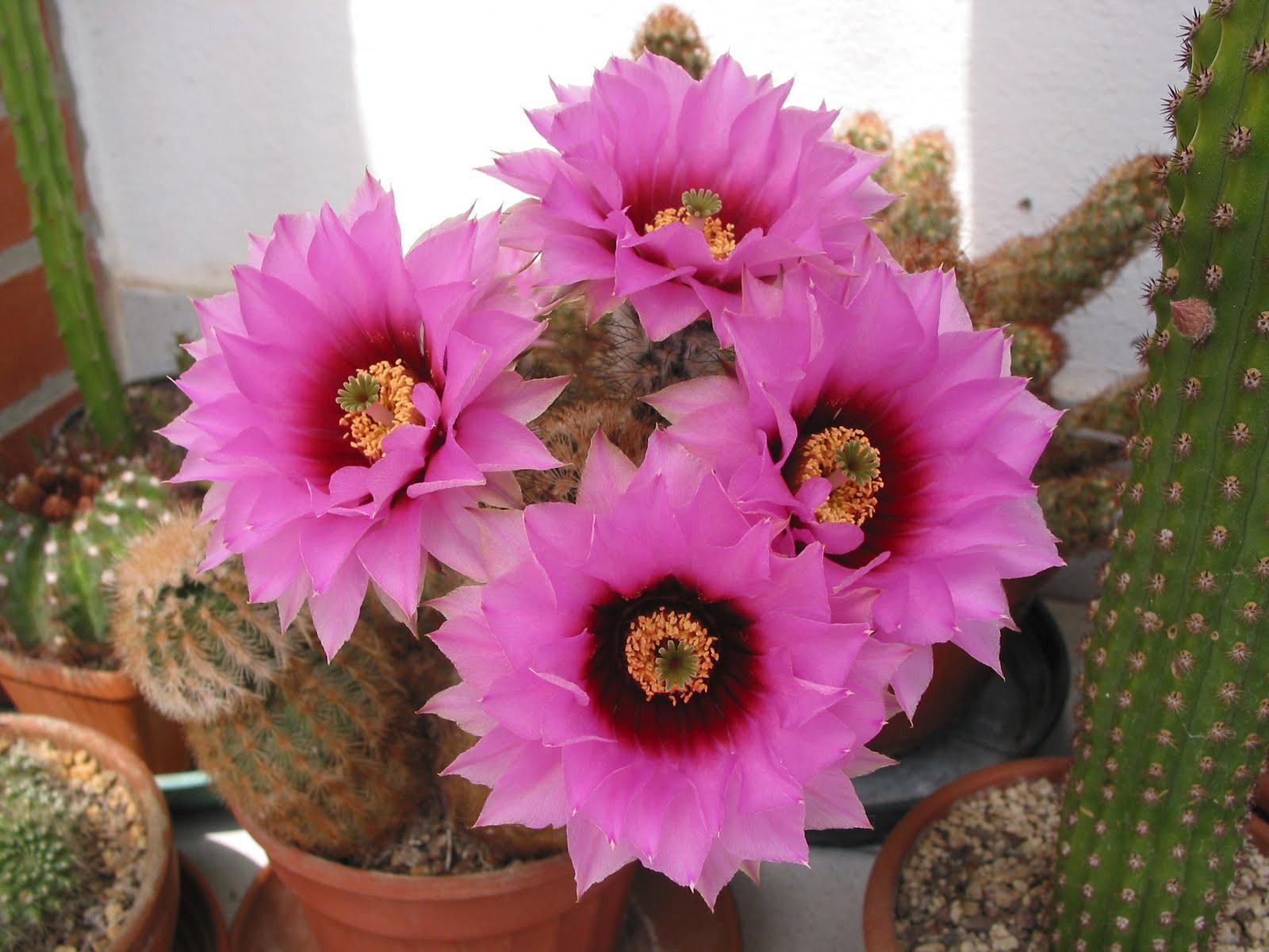 Alphecca in giugno 2010 altre piante grasse hanno for Piante fiori