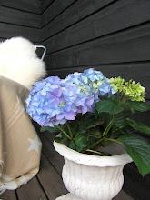 Nydelig hortensia