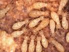 Further More About Termite