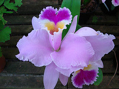 Orchid~Flower