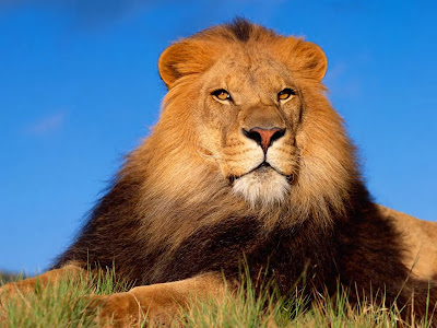 wallpaper lion. Lion wallpapers high