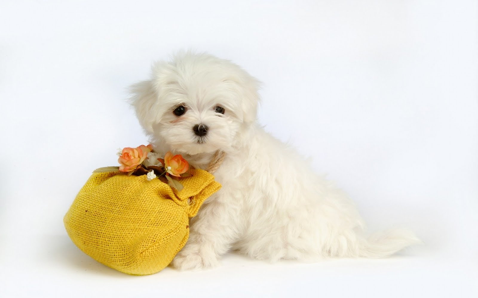 cute puppy wallpaper wide 1680x1050 hd desktop wallpaper