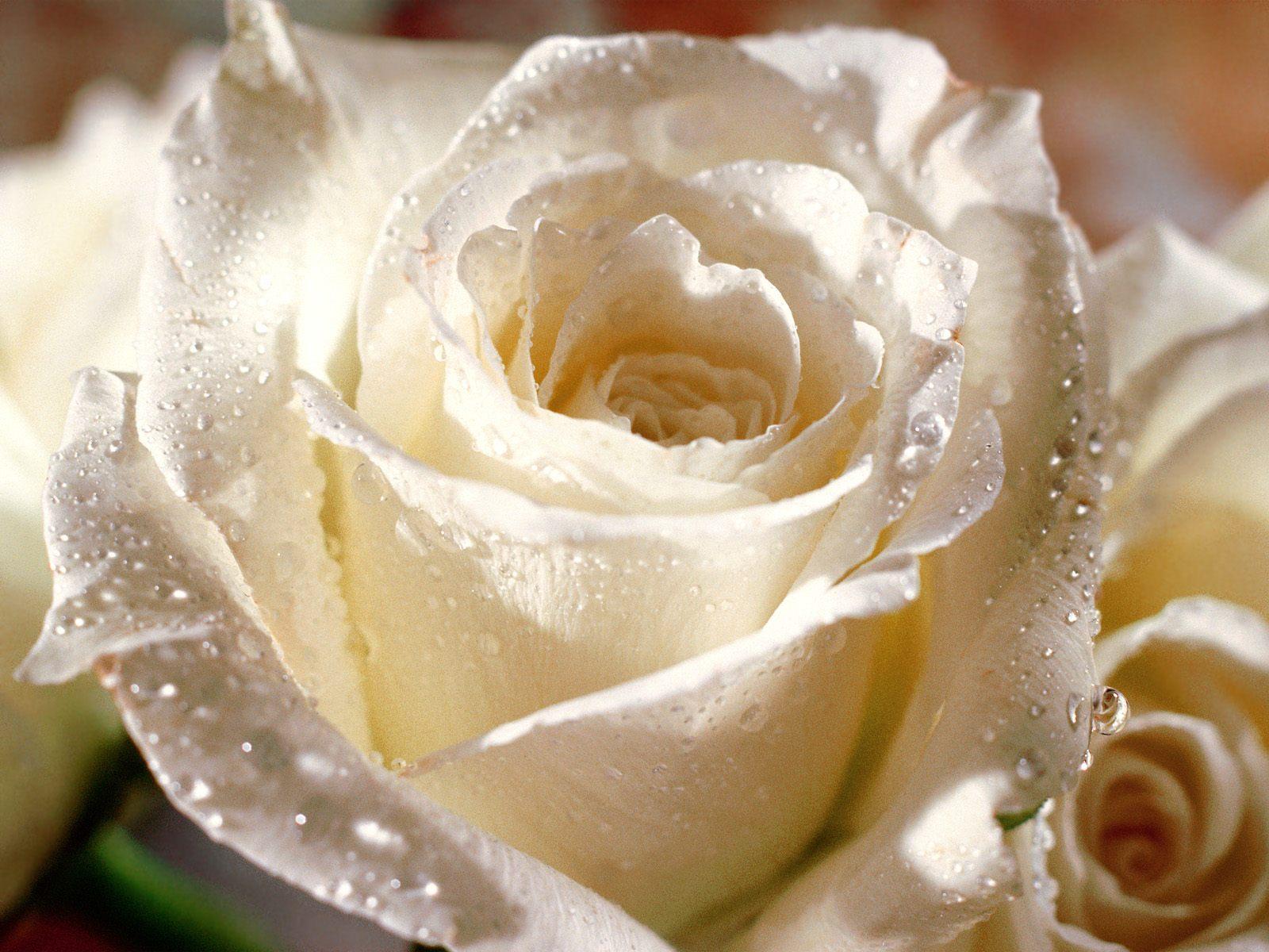 bloomed white roses wallpaper-#39