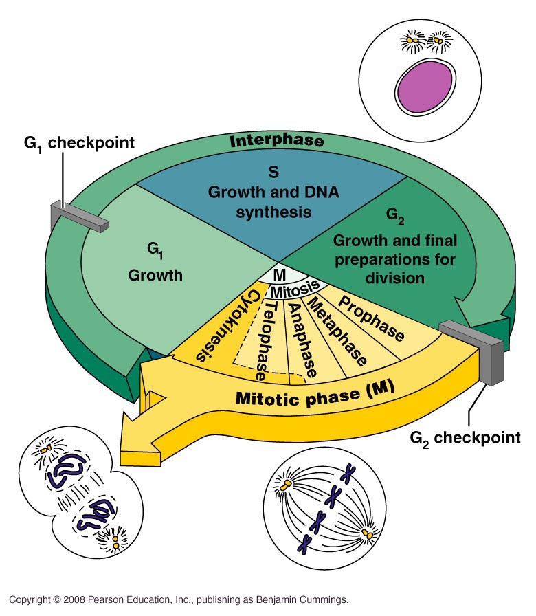 an overview of the stages of the cell cycle Summary of cell cycle stages of the cell cycle this is the stage of the cell cycle in which the cell actually divides into two daughter cells.
