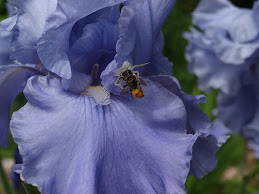 Blue Iris