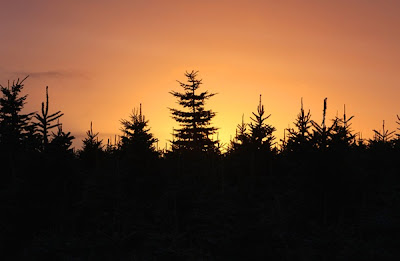 Dartmoor Christmas Trees