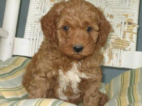 goldendoodle mini puppies. hair miniature goldendoodles.