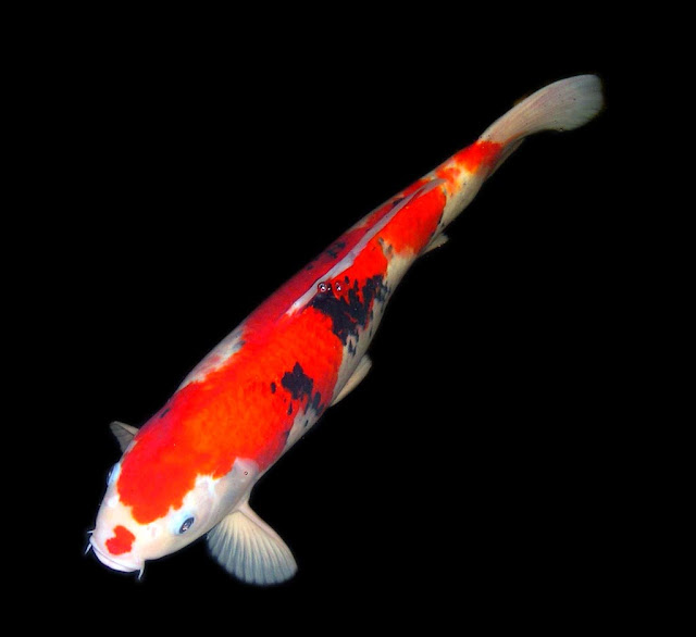 Astonishing facts 7 animals are believed to bring good luck for Koi fish value