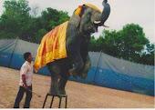 ละครสัตว์ช้างแสนรู้ เพื่ออนุรักษ์ช้างไทย(คลิกที่ภาพ)