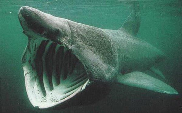 Hei wunnen d'Riesenhaien (requin pelerin), fantastesch Dei'eren, den zweetgressten Fesch weltweit