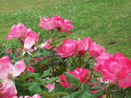 LOVE THOSE KNOCKOUT ROSES