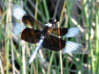 Dragon fly on water pond